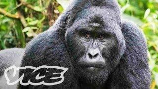 The Last Silverback Mountain Gorillas